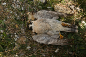Male peregrine found poisoned on nest ledge. Credit: Guy Shorrock RSPB