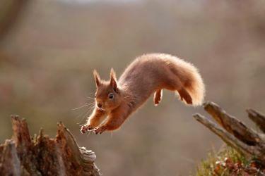 Red squirrel. Credit courtesy of scotlandbigpicture.com