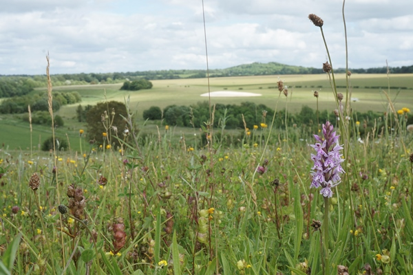view across winterbourne Downs, grassland with orchid with in foreground RSPB Winterbourne Downs (photo credit: Patrick Cashman)