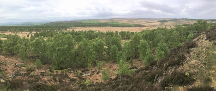 view of natural regeneration, tree saplings on open grass and moorland at at Eastern Moors, Derbyshire (copyright Alastair Driver, Rewilding Britain)