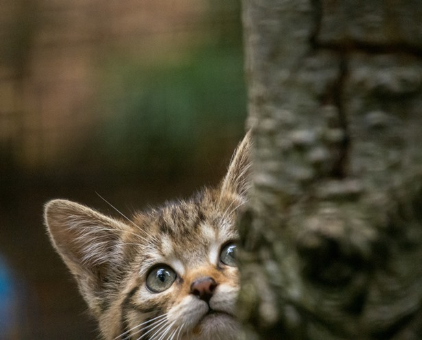 Wildcat kitten looking out from behind a tree trunk (photo: Alyson Houston/RZSS)