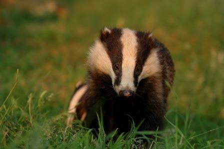 Badger in the grass ©Andrew Parkinson 2020 Vision