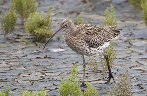 Image of Eurasian Curlew bird walking on mud with green plants in background. (image: Natural England)