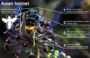 Asian Hornet identification guide (defra/APHA)