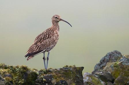 Curlew by Colin Carter