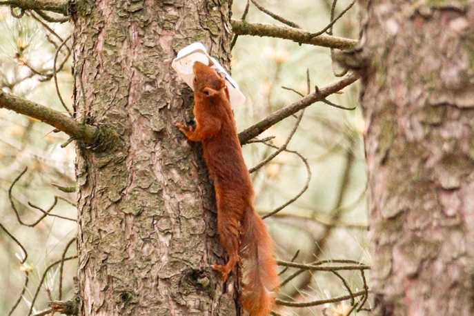 red squirrel climbing a tree carrying an empty white plastic tub in its mouth.