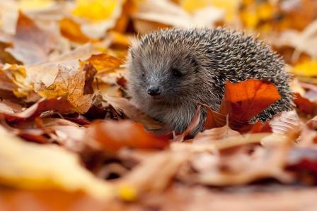 Hedgehog © Tom Marshall