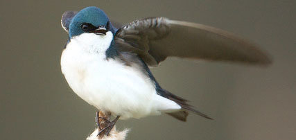 Tree swallow. Early breeding birds of the species run the risk of losing their chicks because of increased risk of poor weather conditions (MPI of Animal Behavior/ Shipley)