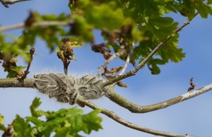 Oak processionary moth caterpillars (Forestry Commission)