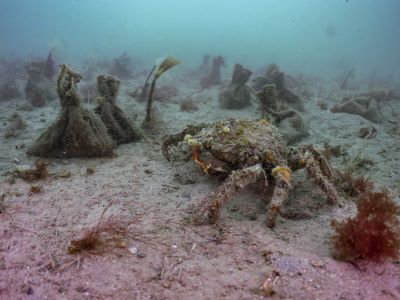 Spider crab investigating new planting bags on the seabed (image: Ocean Conservation Trust)