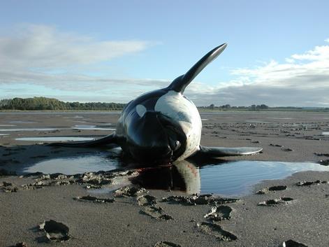 body of a killer whale lying on a sandy beach