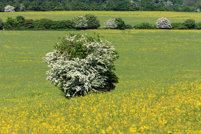 Hawthorn bush in flower and buttercup pasture at Slindon Estate, West Sussex.