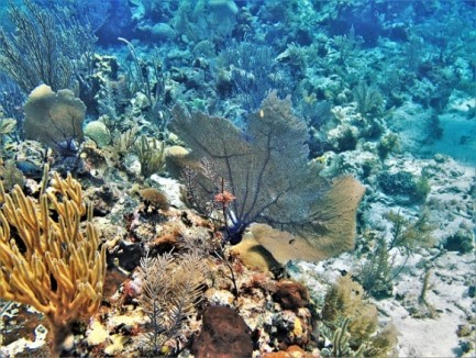 fan coral on a reef