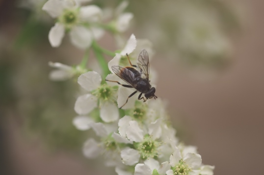 hoverfly on white flower