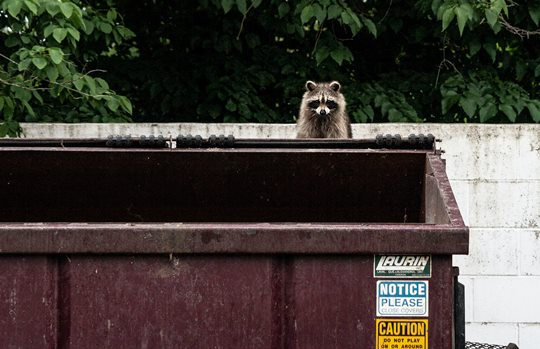 raccoon looking over an empty rubbish skip