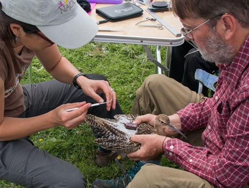 Curlew being tagged (photo: BTO)