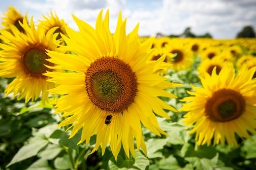 Bee on sunflower Vine House Farm (© Matthew Roberts)