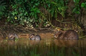 Image credit: Matthew Maran. Beavers to be given legal protection as a native species as part of the Government's 25 Year Environment Plan