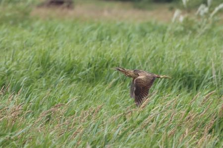 A bittern flies over the reedbed at Lunt Meadows by Phil Boardman