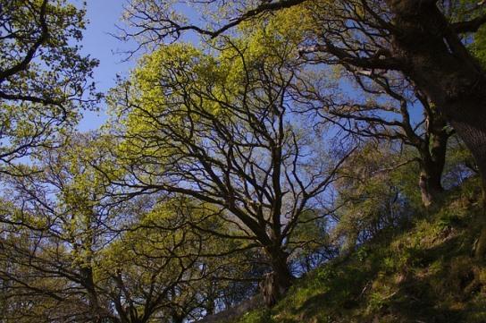 oak tree against blue sky