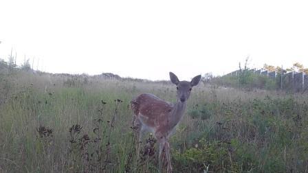Deer standing in a meadow (Conservation Biogeography, Humboldt-University Berlin)