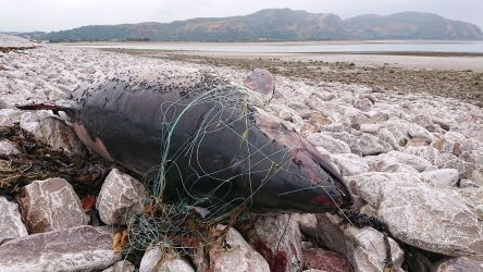 Harbour Porpoise, Conwy, Wales (Credit: WDC)