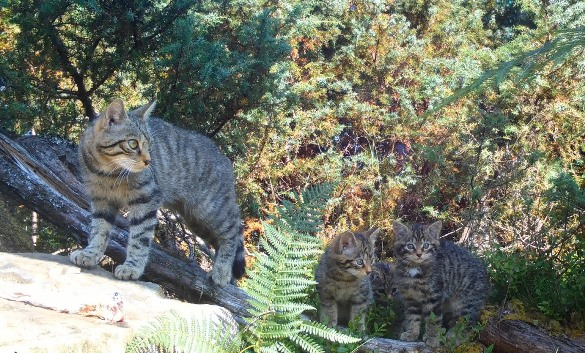 adult wildcat standing on a stone in sunshine with two kittens in the shade under bracken fronds.