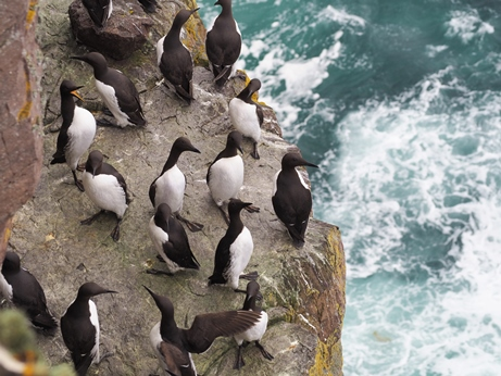 Guillemots on sea cliffs of Handa Island