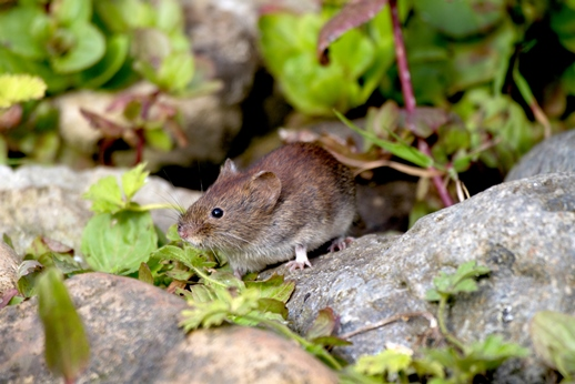 bank vole on rocks