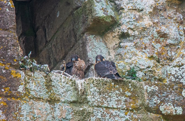 Peregrine Falcon chicks on stony ledge at Corfe Castle. Credit Neil Davidson