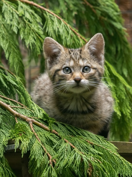 wildcat kitten looking at the camera from a conifer tree