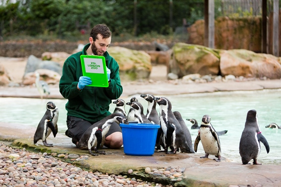 kneeling zookeeper holding clipboard surrounded by a flock os small penguins