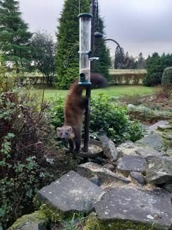 Pine marten in bird feeder (image: SSPCA)