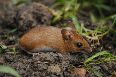 Wood mouse by Samuel Hood