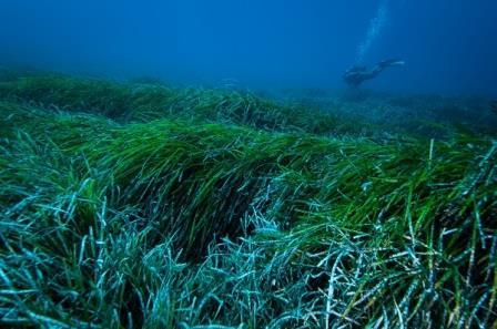 Diver swimming near a seagrass bed Photo: Jordi Regàs