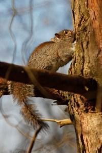 Grey Squirrels Strip Tree Bark Credit RFS