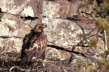 Golden Eagle at nest - Chris Gomersall (rspb-images.com)