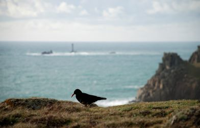 When we work together we can turn the fortunes of species around, for example the return of choughs to Cornwall (image by Pete Warman)