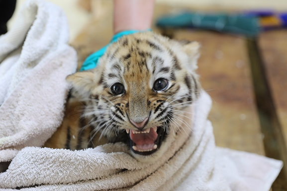 tiger cub wrapped in a towl growling at the camera