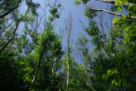 looking up towards blue sky through dieback on mature ash trees