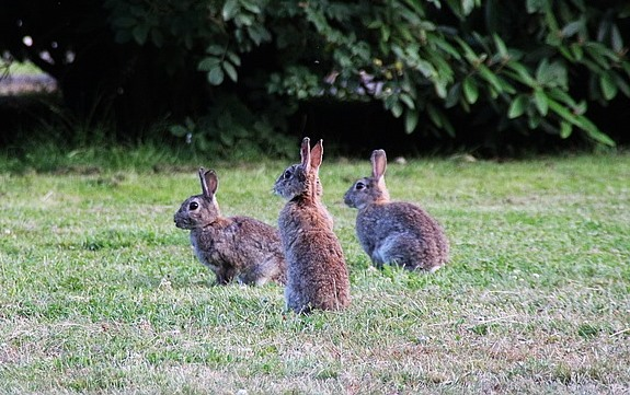 three rabbits sitting on parched grass looking to the left out of shot.