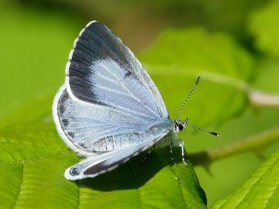 Holly Blue (female/summer brood) - Iain Leach