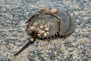 Horseshoe Crab (image: Buglife)