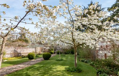Cherry blossom at Grey's Court in Oxfordshire. Credit Hugh Mothersole