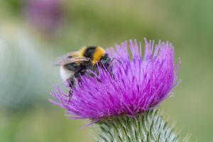 Garden bumblebee (Bombus hortorum) © Pieter Haringsma