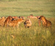 Hyenas are slow-lived and have complex social structures (credit Dave Hudson)