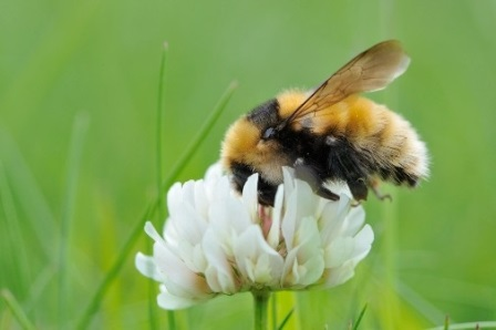 The Great Yellow Bumblebee ©Lorne Gill/NatureScot