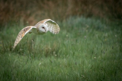 barn owl flying over a grassy meadow