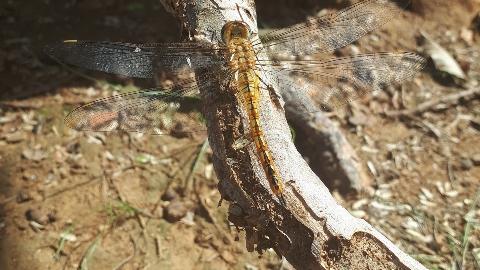 A globe skimmer dragonfly (Johanna Hedlund)
