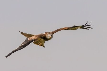 red kite in flight Image by Kevinsphotos from Pixabay